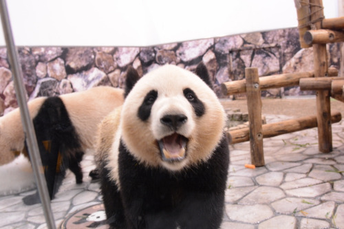 giantpandaphotos:  Kaihin and Youhin at Adventure World in Wakayama, Japan, on April 6, 2013. © Patrick Harper.