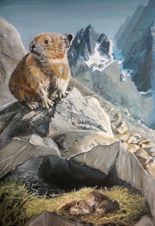 lindsayholladay:  American pika (Ochotona princeps) - gouache on illustration board 10x15 in. Reference material courtesy www.naturespicsonline.com