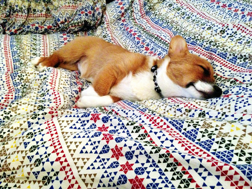 corgiaddict:  Mavis is pooped.