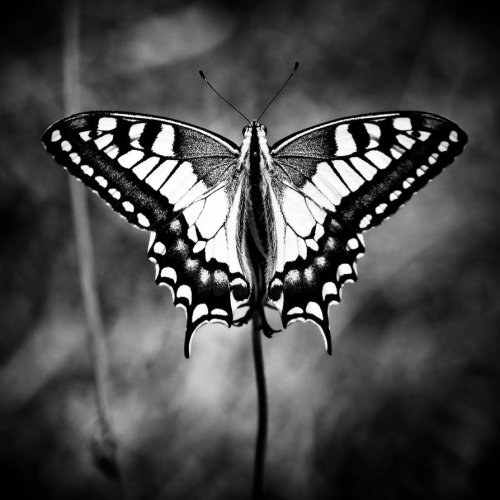 lastdaysofmagic:  I saw a butterfly today. She wore a veil of beauty.