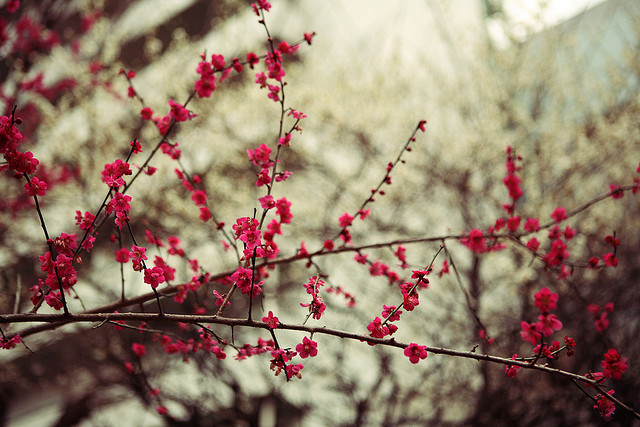 dreams-of-japan:  Plum Blossom by mrhayata on Flickr.