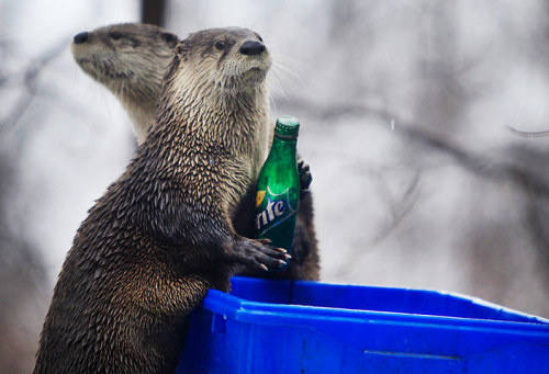 A pair of spritely otters at the Seneca Park Zoo in Rochester, New York have been trained to take soda bottles to recycling bins. Don't they know if they pay peanuts they could train monkeys?  Via The Guardian: http://m.guardian.co.uk/world/gallery/2013/feb/28/a-lighter-look-entertaining-pictures?index=1