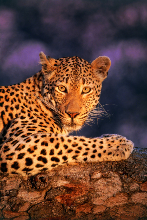 earthlynation:  Leopard by Catman-Suha