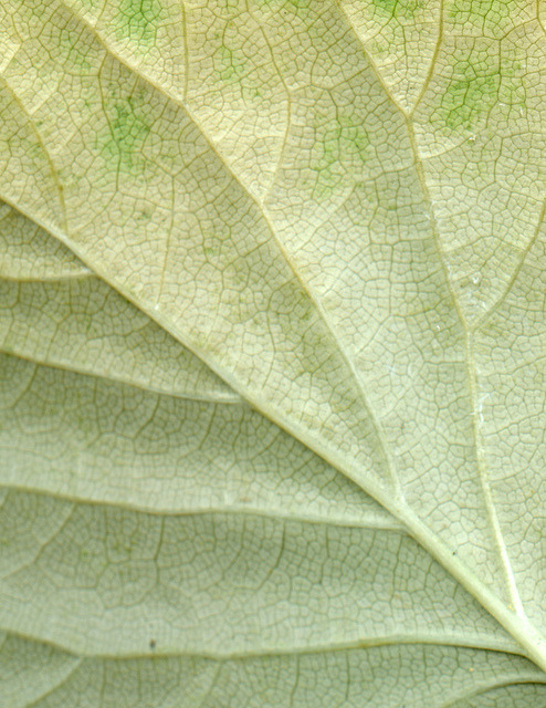 valscrapbook:  54813-03 Hydrangea anomala petiolaris by horticultural art on Flickr.