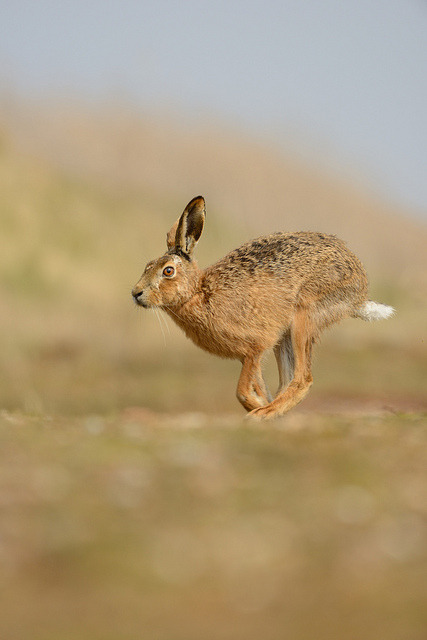 funnywildlife:  Brown Hare by Benjamin Joseph Andrew on Flickr.