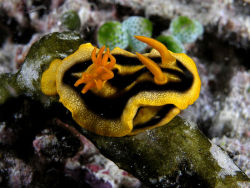 rhamphotheca:  Chromodoris joshi is a species of nudibranch, a shell-less gastropod marine mollusk found in the Philippines, Sumatra, the Andaman Sea, and Indonesia. Reaching 60 mm (2.4 in) in length, it is yellow with three black stripes on its mantle and orange rhinophores and gills. (photo: Nick Hobgood)                                     (via: Wikipedia)