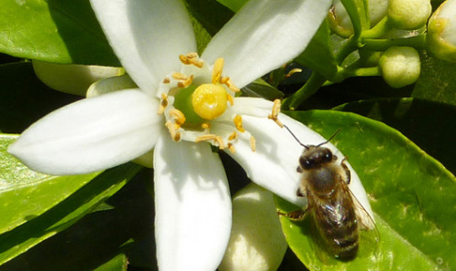 Bees remember flowers that serve them caffeine Scientists think the caffeine is affecting neurons in the bees' brains in a way that reinforces memories, and that it may have the same effect on humans.
