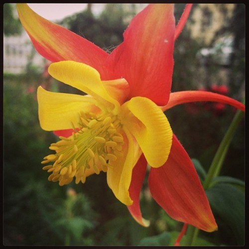 #flower #columbine #redandyellow #lovely #plantlife