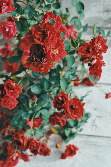 arcanja:  painting the roses red. by Annie Elizαbeth on Flickr.