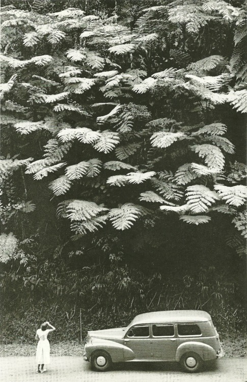 vintagenatgeographic:  Towering tree ferns about a hillside on Martinique National Geographic | February 1959