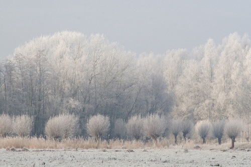 iaaar:  wintry trees by ksvrbrg on Flickr.