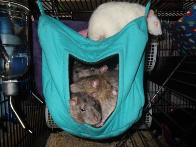 My rats are racist.