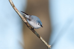 fairy-wren:  Blue Grey Gnatcatcher. Photo by kelly
