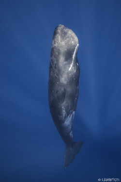 subtlepen:  sperm whale in candle (sleeping vertically) Reunion Underwater Photography