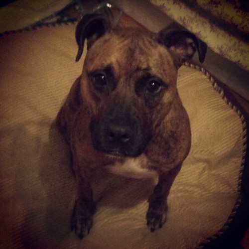 Pretty girl! #diamond, #pitmix, #gooddog, #dogstagram, #pretty, #happydog