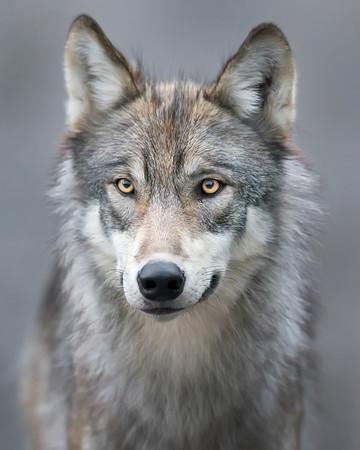 """wolfsheart-blog: """"Wolf by Ken Conger"""""""