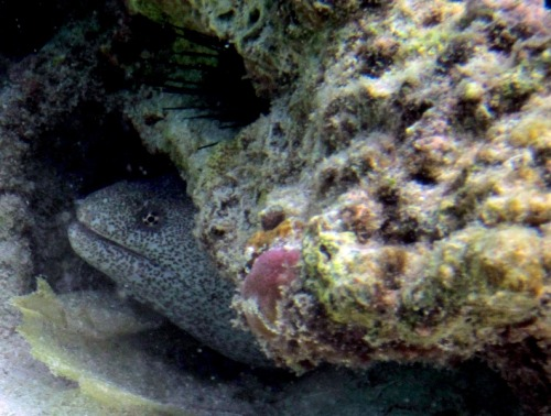 Peek-a-boo! Peppered Moray (Siderea picta) This is a bit blurry but I liked it…so there. Wakatobi Photo by me (Lyra)