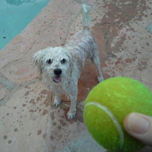 My little dog just leaps into the pool after his ball and it's his favorite thing in the world.