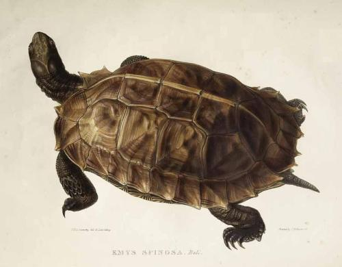 rhamphotheca:  Emys spinosa - now Spiny Turtle (Heosemys spinosa) from  A Monograph of the Testudinata, 1832, by Thomas Bell, painting by Edward Lear - lithograph (via: Novataxa | Species New to Science)