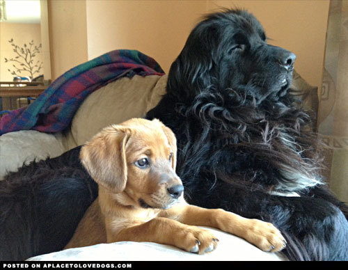 aplacetolovedogs:  Majestic Newfoundland dog and adorable new rescue puppy are best friends forever! For more cute dogs and puppies
