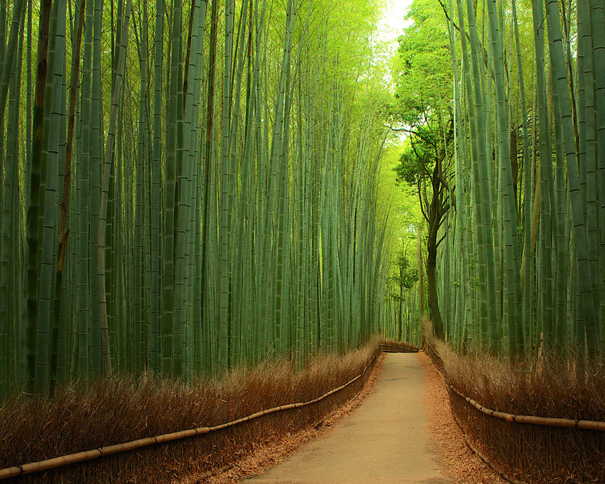 "odditiesoflife:  Sagano Bamboo Forest, Japan This stunning bamboo forest is located in the Arashiyama district on the west outskirts of Kyoto, Japan. It is one of the most amazing natural sites in the country. An interesting fact about Sagano Bamboo Forest is the sound that the wind makes while it blows through the bamboo. Amazingly enough, this sound has been voted on as one of the ""one hundred must-be-preserved sounds of Japan"" by the Japanese government. Another interesting fact – the railing on the sides of the road is composed out of old, dry and fallen parts of bamboo."