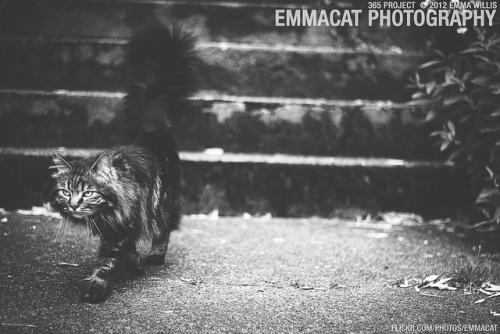 Cat of Beacon Hill II - 170/365 B&W on Flickr.Via Flickr: Sorry it's now 2013 and I'm still working on the editing from the 365 project from 2012. I am happy to say that I did take photos every day!  This cat was awesome and quite photogenic.