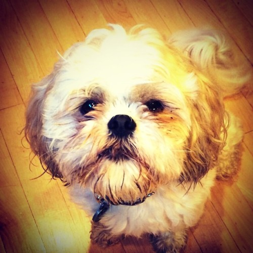 Morning pooch smooches. Playing traffic kitchen cop. The house a'bustle.  #haiku #PuppyLove #puppy #dog #pets #shihtzu