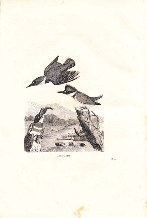 1854  Belted Kingfisher Engraving Birds Antique Art Print Alcedo Alcyon at CarambasVintage http://etsy.me/YPh6yl