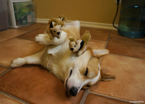 corgnelius:  The squirrels have conquered Corgnelius.