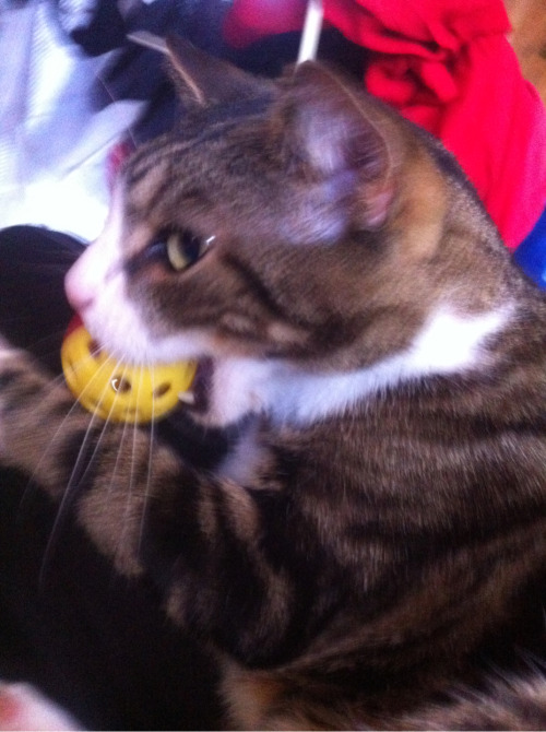 Mr Tigeymeow with his new toy. <3