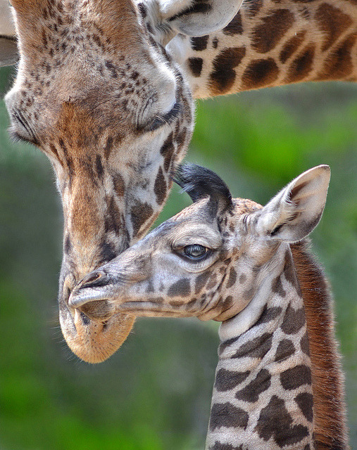 sdzoo:  Young at heart by Ion Moe