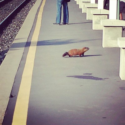 Groundhog waiting for the train this morning #groundhogday