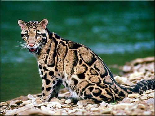 llbwwb:  Ocelot by Connie.