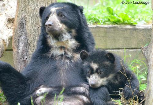 loveforallbears:  Billie Jean and Curt spend quality time together on a rainy Sunday morning at the Smithsonian National Zoo in Washington, DDC