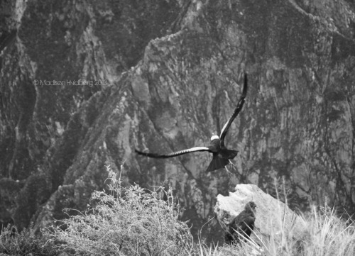 Flight of the Condor Taken at Cruz del Condor, in the Arequipa region of Peru.