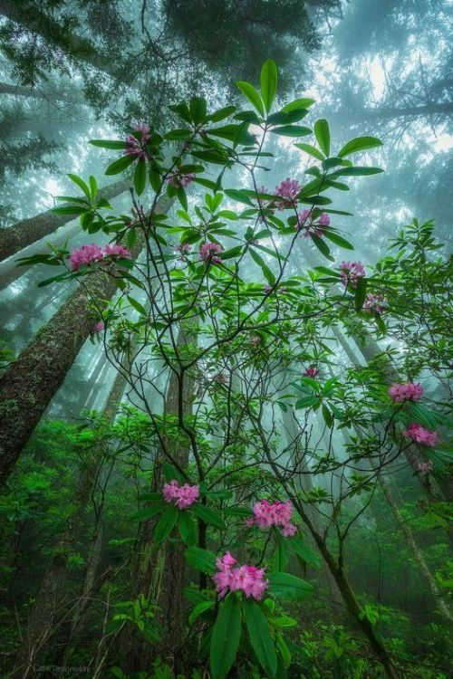 Rhododendrons blooming in the forest of the Olympic Peninsula, Washinton State, photo by Lalit Deshmukh #rhododendron#nature#olympic peninsula#washington state#nature photopragpy#lalit deshmukh
