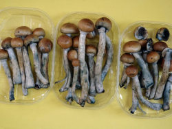 "Magic mushrooms' psychedelic ingredient could help treat people with severe depression | The Guardian  Research by Professor David Nutt [professor of neuropsychopharmacology at Imperial College London] has found that psilocybin switches off part of the brain called the anterior cingulate cortex. It was known that this area is overactive in individuals suffering from depression. In his tests on healthy individuals, it was found that psilocybin had a profound effect on making these volunteers feel happier weeks after they had taken the drug, said Nutt – who was sacked as the chairman of the Advisory Council on the Misuse of Drugs in 2009 after repeatedly clashing with government ministers about the dangers and classification of illicit drugs. Nutt's team also discovered that another section of the brain known as the default mode network was also influenced by psilocybin. ""People with depression have overactive default mode networks and so ruminate on themselves, on their inadequacies, on their badness, that they are worthless, that they have failed – to an extent that is sometimes delusional. Again psilo-cybin appears to block that activity and stops this obsessive rumination."" full article"