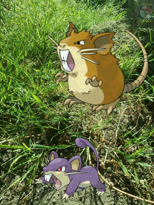 Rattata and Raticate!!