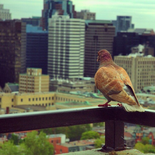 austinhk:  Pigeon on the balcony taking in the Montreal skyline. Oldie from archives!
