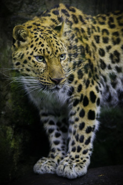 animals featured nature wildlife scenery feline leopard big cats amur leopard mustups uncropped nature Phillip Burgess