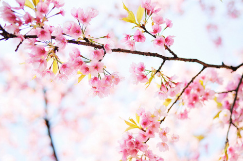 sakura by [cipher] on Flickr.