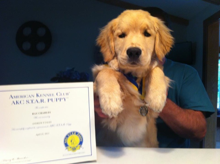 Congrats to wittle Ray Charles the blind golden retriever for getting his AKC star puppy medal yesterday! Dog Bless You, Ray, you are an inspiration to all of us.