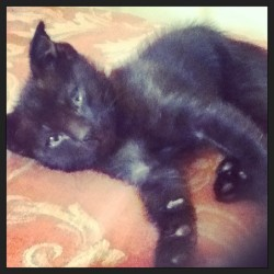 My kitty when she was so tiny x3 #tiny #cute #neko #cat #kitty #black #playful #cutie #adorable #pet #friend #happiness #joy #lovable #cuddly #loving #hyper #small #kitten #fluffy #hyperactive #energetic #instalike #pretty #beautiful #unique