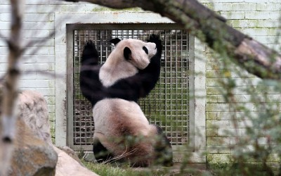 Male panda Yang Guang looks into the enclosure of female panda Tian Tian ahead of breeding season at Edinburgh Zoo. Experts at Edinburgh Zoo have announced they expect the giant panda breeding season may be earlier this year, as both Tian Tian (Sweetie) and Yang Guang (Sunshine) have already started to show important changes in their behaviour that suggest they may soon be ready to mate.  Picture: Andrew Milligan/PA