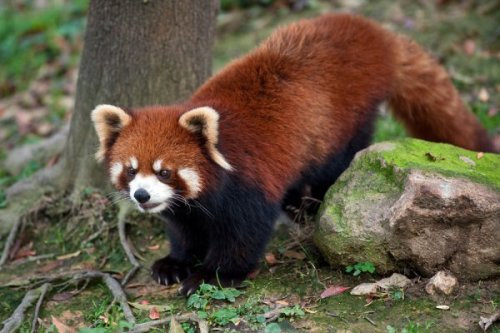 RED PANDAS ARE ONE OF MY FAVORITE ANIMALS IN THE WORLD!!!!