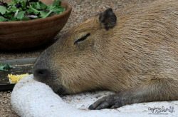 Garibaldi Rous was plum tuckered out after his trip to an elementary school today. You can read more about his adventure at My Day as Capybassador. His new purple harness seems to be working.