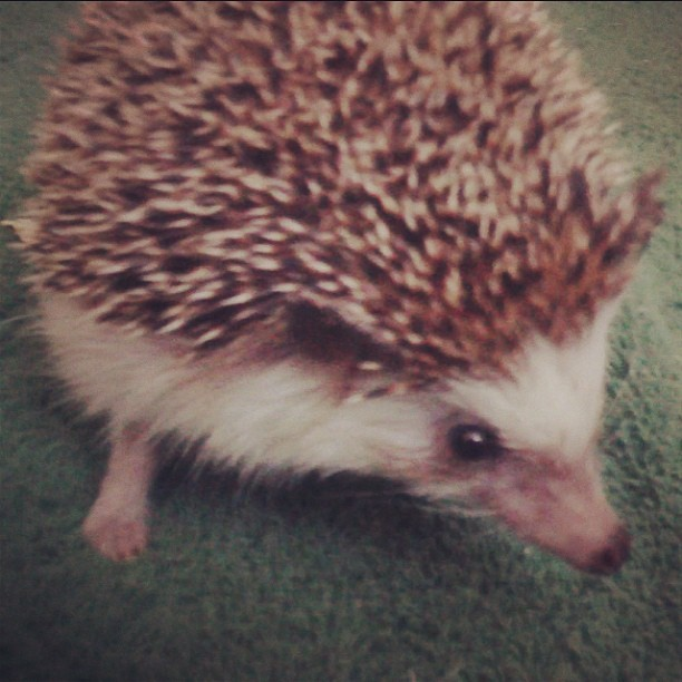 J.Js Hedge Hog - Shadow 💙🐾 so cute! 😛 #hedgehog #cute #love #animal