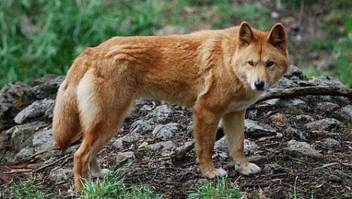 Secret of dingo's down-under origin revealed     Indians also may have introduced advanced stone tool industry and plant handling strategies to Australians at time of their migration.