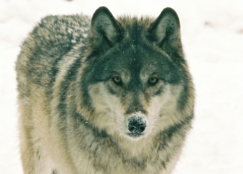 brutalgeneration:  eyes of the wolf (by Ethan G. Knuti)