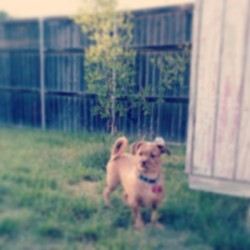 Day 5: Outside c: #meep #ralphy #dog #like #baby #tree #in #the #background #rawr #shichi #chiwawa #shitzu #ouside #outdoots #grass #tree #barn #house #home #teehee #like #tagsforlike